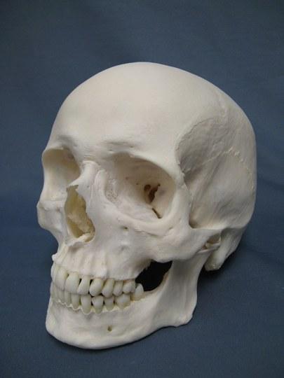 Caucasian_Human_Skull.jpg